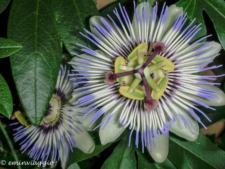 Festa della donna passiflora