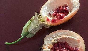 passiflora il contenuto del frutto