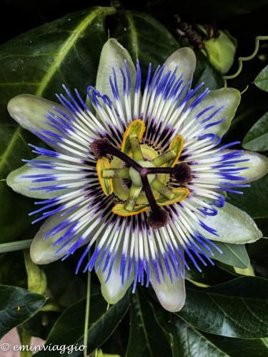 passiflora frutto della passione il fiore