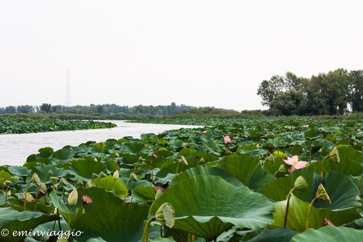 Mantova dall'acqua la distesa di fior di loto