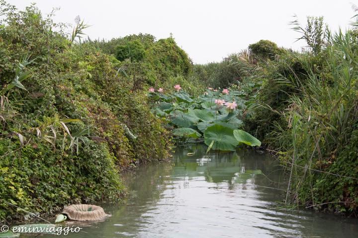 Mantova dall'acqua l'evidente invasione dei fior di loto