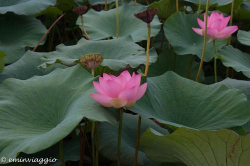Mantova dall'acqua fra arte ninfee e fior di loto