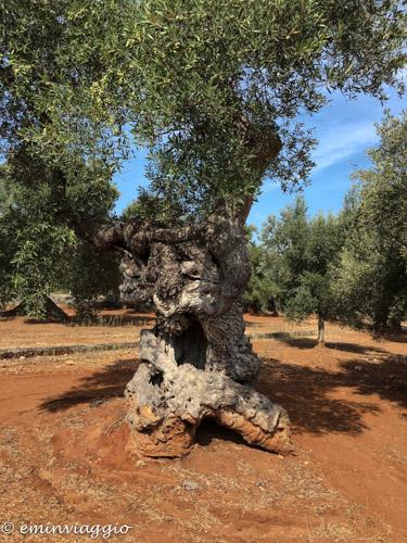 Alto Salento ulivo secolare