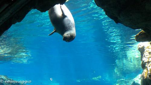 acquario-di-genova-foca