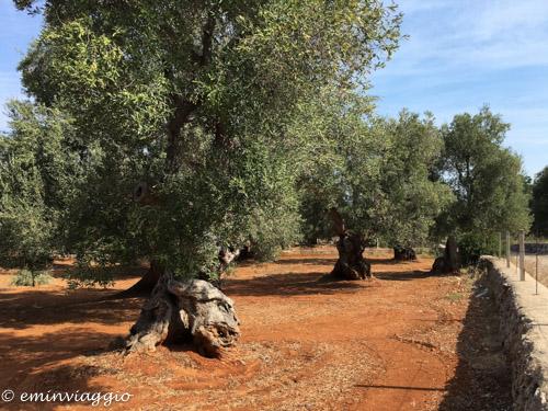 Alto Salento i meravigliosi ulivi secolari